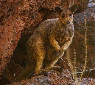 Rock-wallaby Genus of marsupials