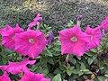 Petunia 13.jpg