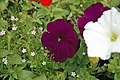 Petunia sp. 5 (49044759498).jpg