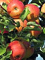 Pfälzer Äpfel - panoramio.jpg
