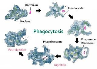 """En amöba kan """"sniffa"""" sig till en bakterie och fagocytera (äta upp) den."""