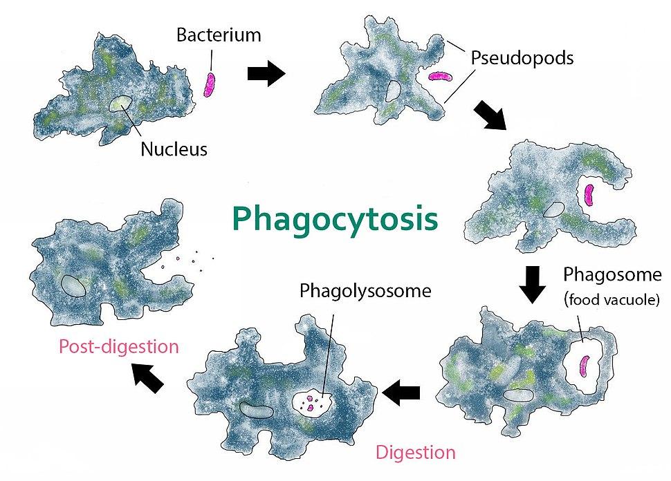 Phagocytosis -- amoeba