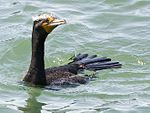 Phalacrocorax auritus -Morro Bay -California-8c.jpg