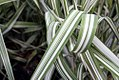 Phalaris arundinacea Feeseys Form 3zz.jpg