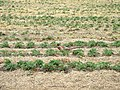 Pheasant among the strawbery field - geograph.org.uk - 162178.jpg