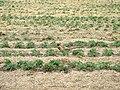 Pheasant among the strawbery field - geograph.org.uk - 162178.jpg