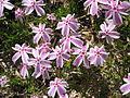 Phlox subulata Tamanonagalei02.jpg