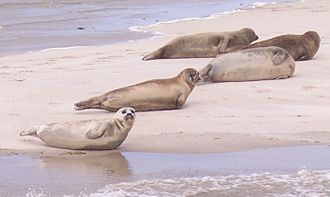 Wadden Sea - Harbor seals on Terschelling, Netherlands