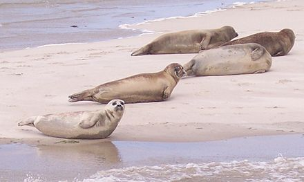 Common seals on Terschelling, a Wadden Sea island Phoca vitulina Terschelling.jpg