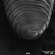 Photo of earthworm head (Eisenia hortensis) taken with a scanning electron microscope.jpg