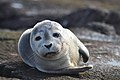 Photo of the Week - Harbor seal at Nantucket National Wildlife Refuge, MA (5961318825).jpg