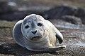 Photo of the Week - Harbor seal at Nantucket National Wildlife Refuge, MA (5961318825).jpg
