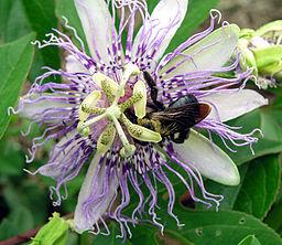 fleur de passiflore et bourdon pollinisateur