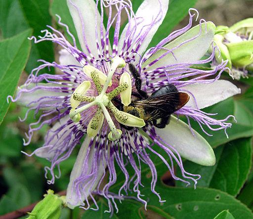 maypop-passiflora-incarnata-climbing-plant-food-forest