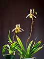 Phragmipedium sargentianum 'Really Red' x self (28352646118).jpg