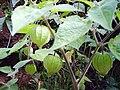 Physalisangulata.jpg