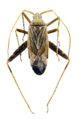 Phytocoris varipes 1.png
