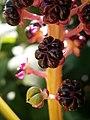 Phytolacca acinosa fruits02.jpg
