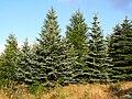Picea pungens Karkonosze 2.JPG