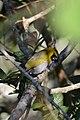 Picogordo Cara Negra, Black Faced Grosbeak, Caryothraustes poliogaster (11915721285).jpg