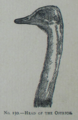Picture Natural History - No 150 - Head of the Ostrich.png