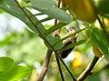 Picumnus granadensis (Carpinterito punteado) - Flickr - Alejandro Bayer (1).jpg