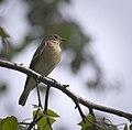 Pied flycatcher (28891996513).jpg