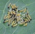 Pieris brassicae caterpillars, groot koolwitjerupsjes (1).jpg