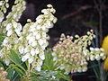 Pieris japonica4.jpg