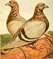Pigeons- their structure, varieties, habits, and management (1868) (14760741221).jpg