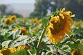 PikiWiki Israel 17207 Plants of Israel.jpg