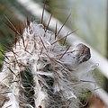 Pilosocereus leucocephalus-IMG 6728.JPG