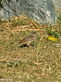 Pine Bunting (Emberiza leucocephalos) (23465791839).jpg