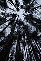Pine Plantation II (16328823301).jpg
