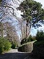 Pine tree, Greenway House Lodge Entrance - geograph.org.uk - 369264.jpg