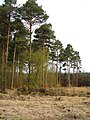 Pine trees on Haldon - geograph.org.uk - 160416.jpg