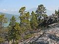 Pinus contorta ssp latifolia Chilkoot Trail.jpg