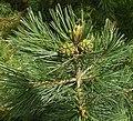 Pinus discolor, Barranca del Cobre.jpg