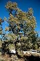 Pinus monophylla tree.jpg
