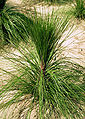 Pinus palustris grass-stage.jpg