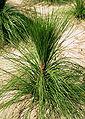 Pinus palustris grass-stage.jpg