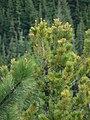 Pinus ponderosa 17040.JPG