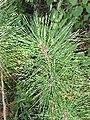 Pinus resinosa 1-eheep (5097509741).jpg