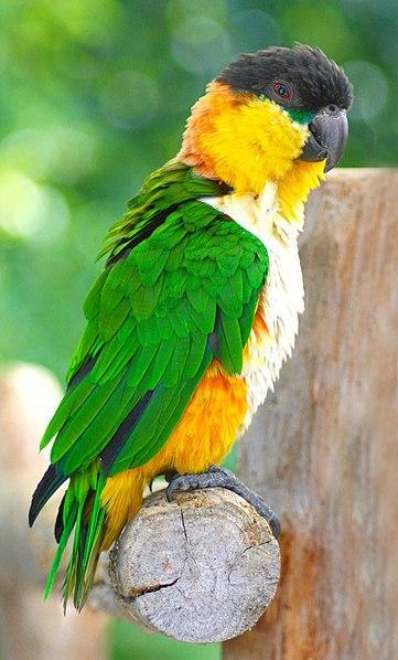 Ficheiro:Pionites melanocephalus -Wingham Wildlife Park-6.jpg