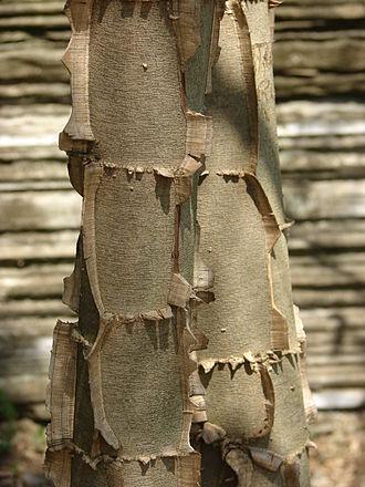Piptadenia - Piptadenia gonoacantha young trunk