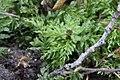 Plagiomnium undulatum 120595235.jpg