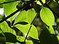 Plant Leaf Venation DSCN9018 28.jpg
