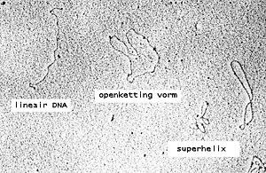 Plasmide - Wikipedia