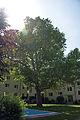 Platane 605 Neuwaldeggerstrasse im Gegenlicht.jpg