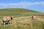 Plateau-de-l'Aubrac-pres-de-Rieutort-DSC 0751.jpg